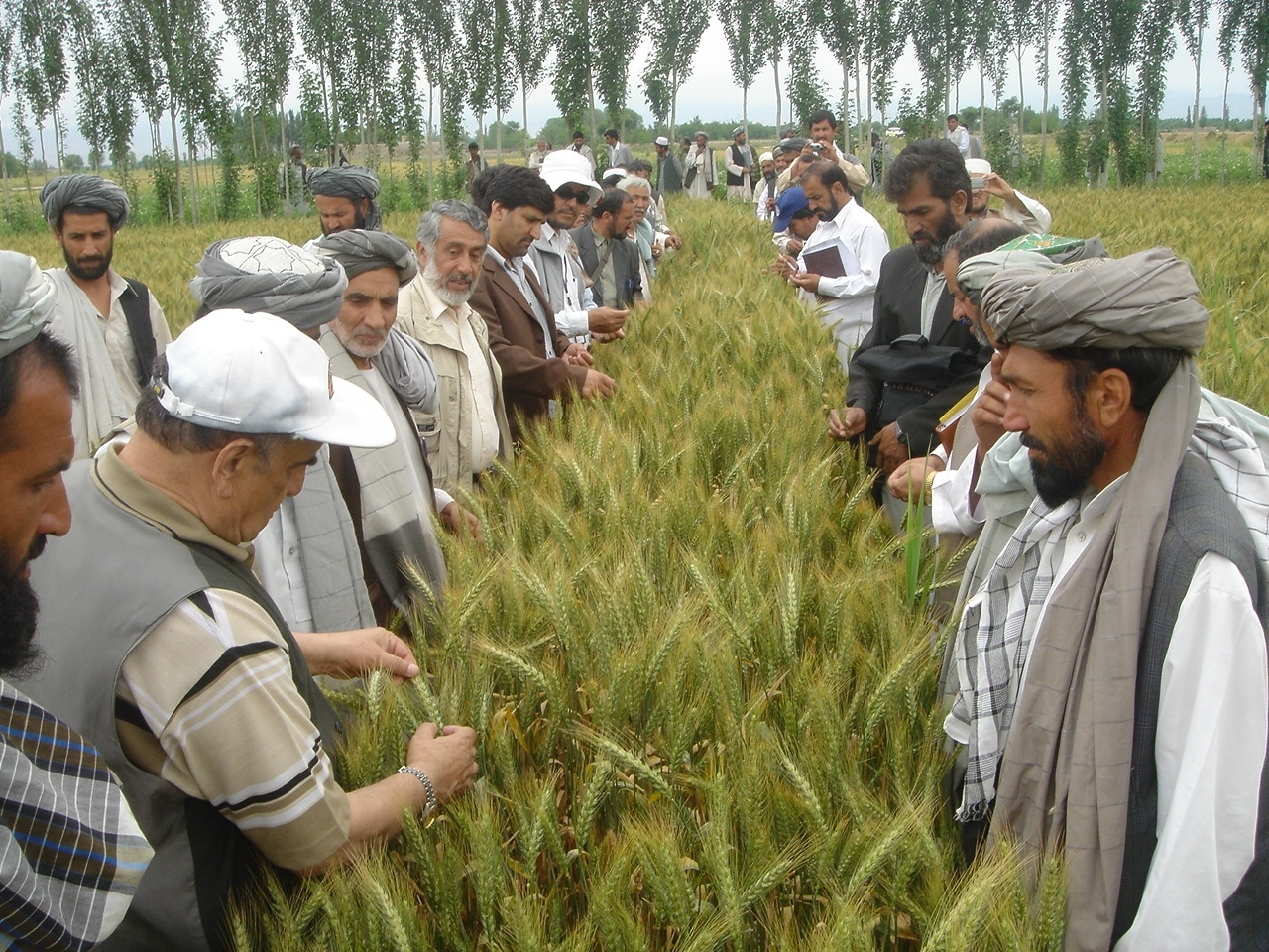 Wheat farmer field training in Afghanistan