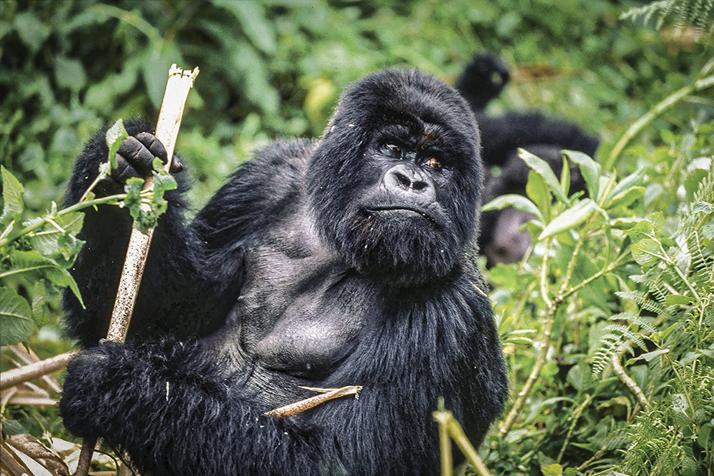 The Virunga National Park in DRC is home to the critically endangered mountain gorillas