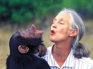 Dr.Jane Goodall with orphan chimpanzee Uruhara at the Sweetwaters Sanctuary in Kenya.