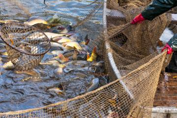 Fish caught in large fish nets in the Black Sea © EU