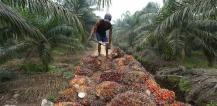 Man harvesting palm oil © EU