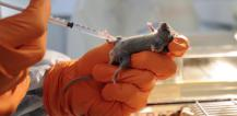 Scientist injecting laboratory mouse © EU