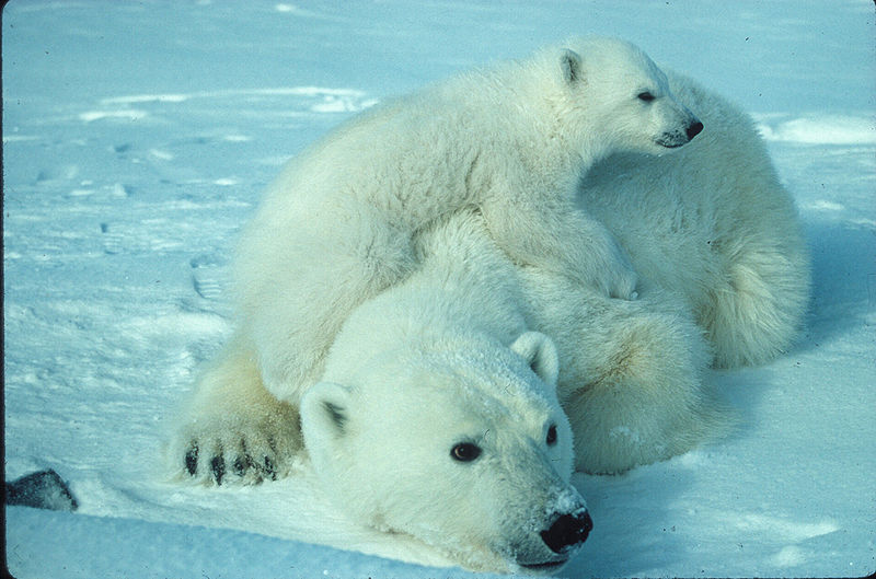 What are the legal rights of Polar bears?